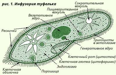 Строение инфузории туфельки под микроскопом