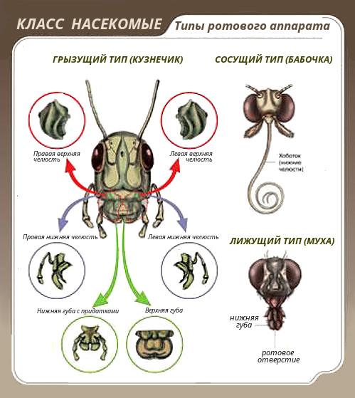 Ротовой аппарат насекомых