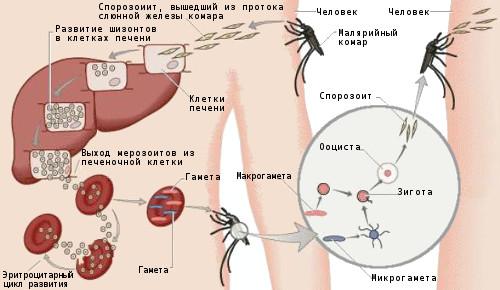 какие паразиты в крови человека