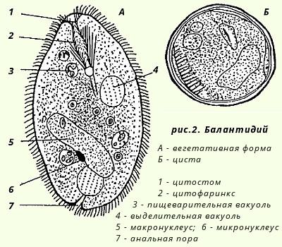 паразиты в кишечнике человека симптомы и лечение
