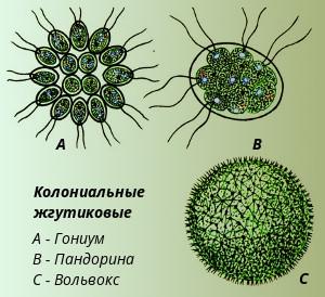 строение. значение колониальной водоросли вольвокс