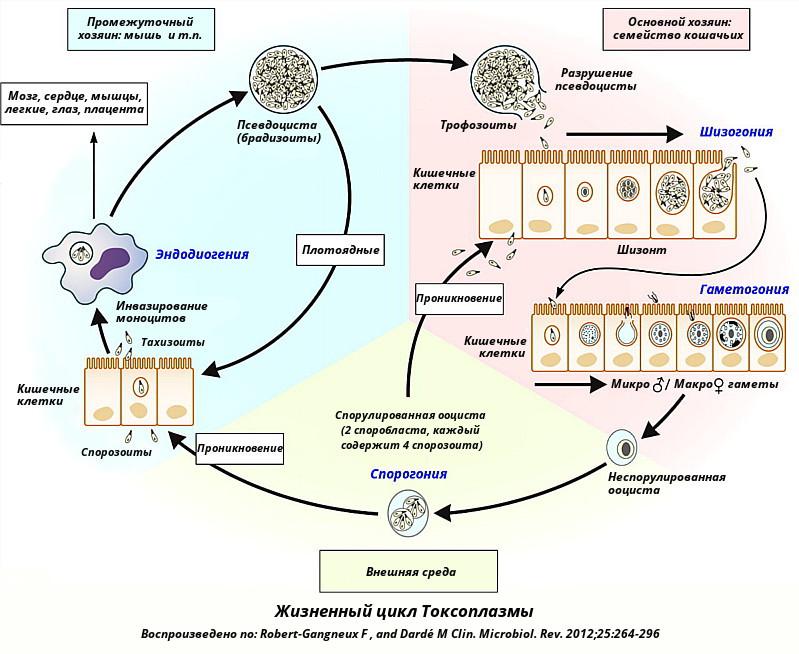 Жизненный цикл токсоплазмы в