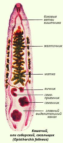 паразит печени человека видео