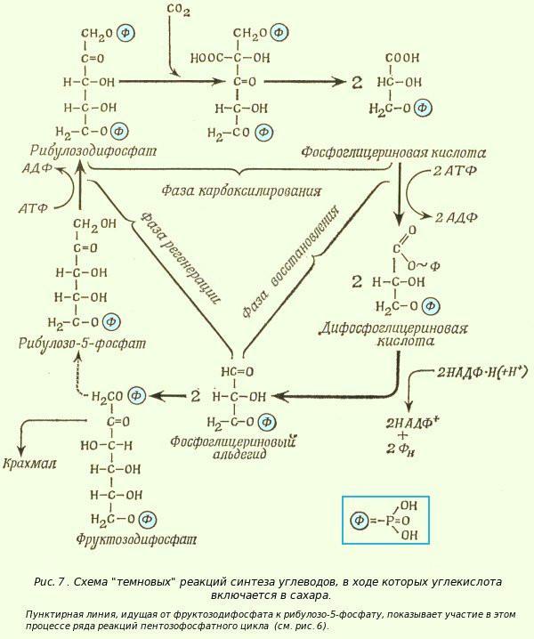 Механизм темновой стадии