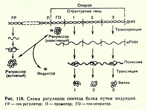 Гипотеза георгиева регуляция синтеза белка у эукариот