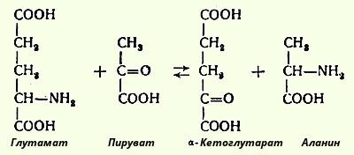 Трансаминирование аминокислот