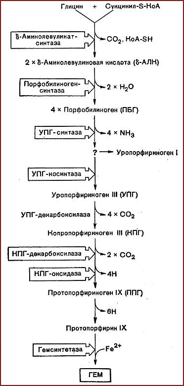 Синтез гема