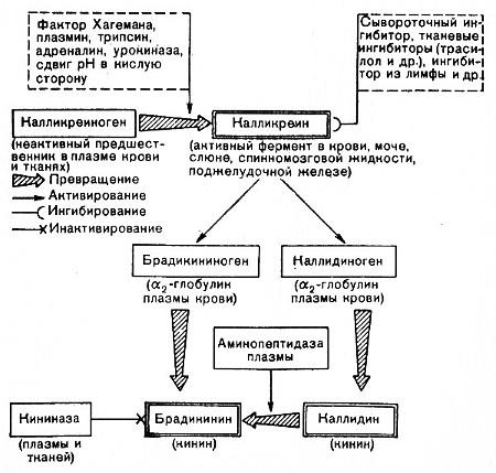Кининовая система крови