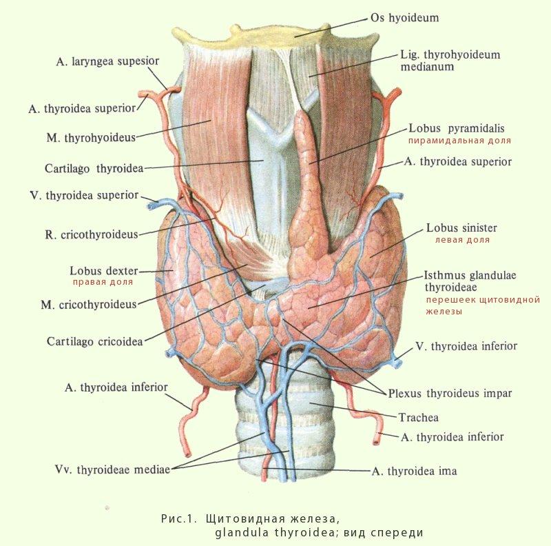 Железа Щитовидная