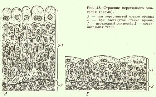 Переходный эпителий
