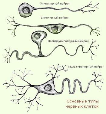 Основные типы нервных клеток
