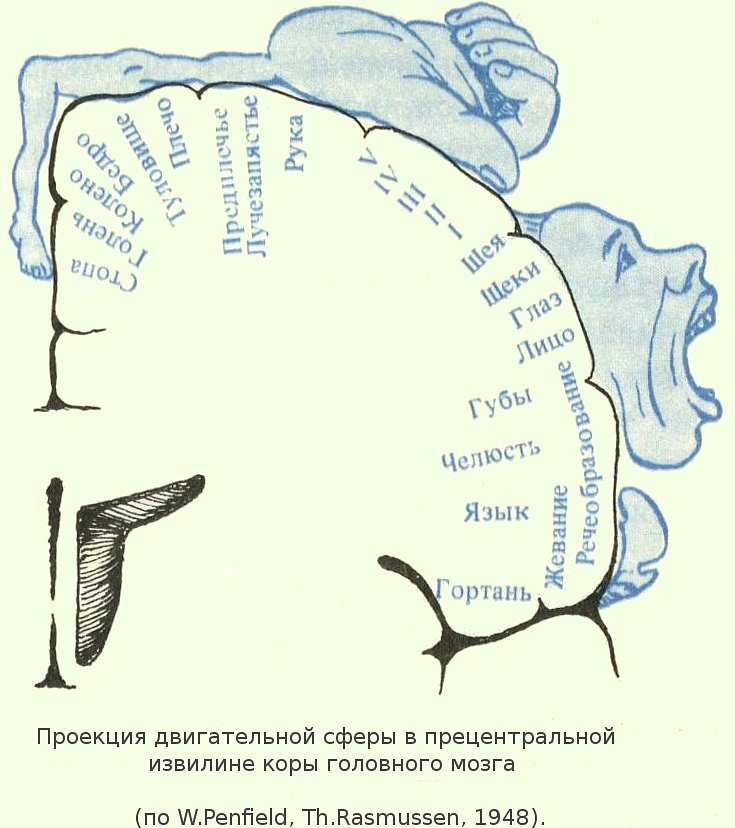 Почему в сенсорных зонах коры очень хорошо выражен четвертый слой