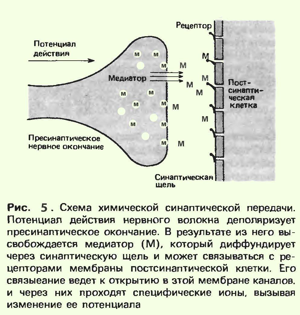 Синапс Нервно-Мышечный фото