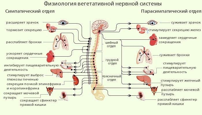 Физиология вегетативной