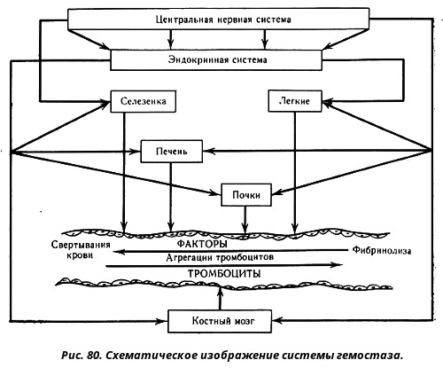 Система гемостаза - одна из