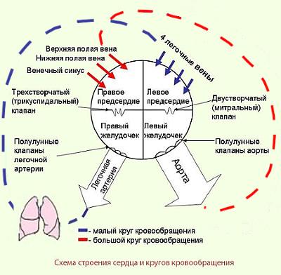 Схема строения сердца и кругов
