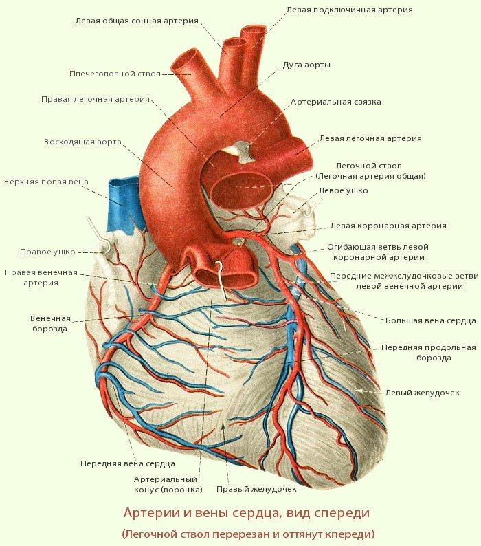 Артерии и вены сердца