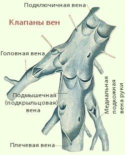 Клапаны вен