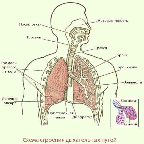 Строение и функции дыхательной системы.