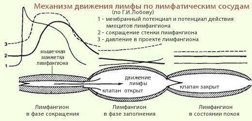Строение лимфангионов