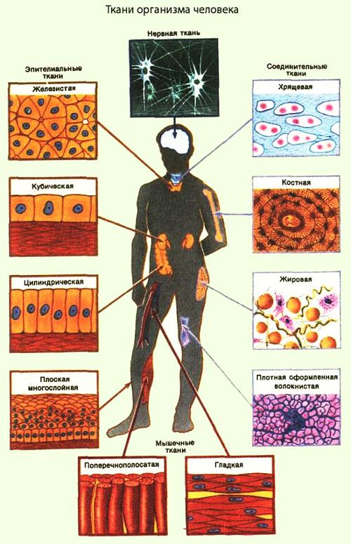 Ткани организма человека