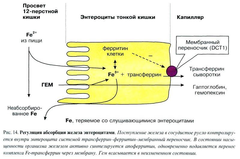 Обмен железа в организме