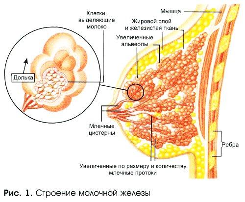 Делают ли узи молочных желез при лактации