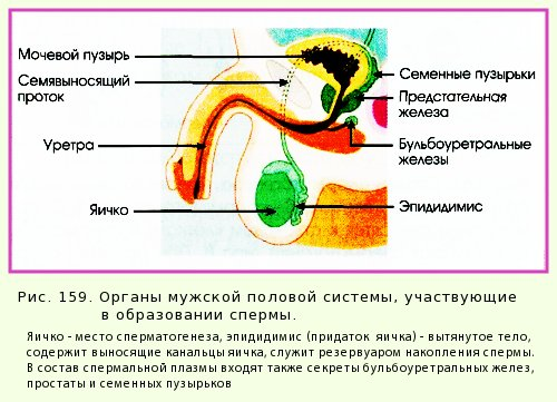 спермы человека состав: