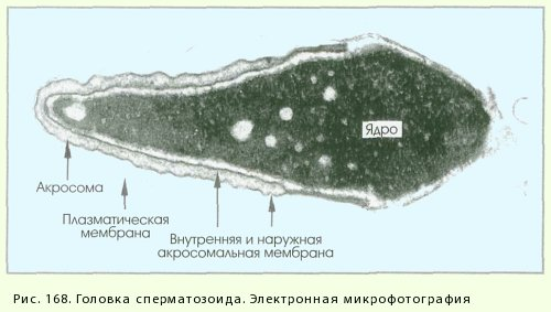 k-chemu-privodit-defekt-golovki-spermatozoida