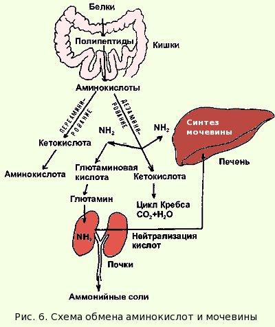 Синтез мочевины происходит в