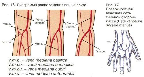 Анастомозы артерий и вен