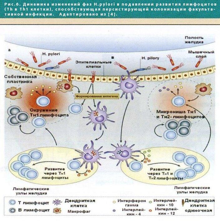 хеликобактерной инфекции в