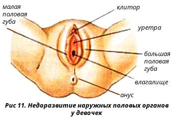 Наружные половые органы фото