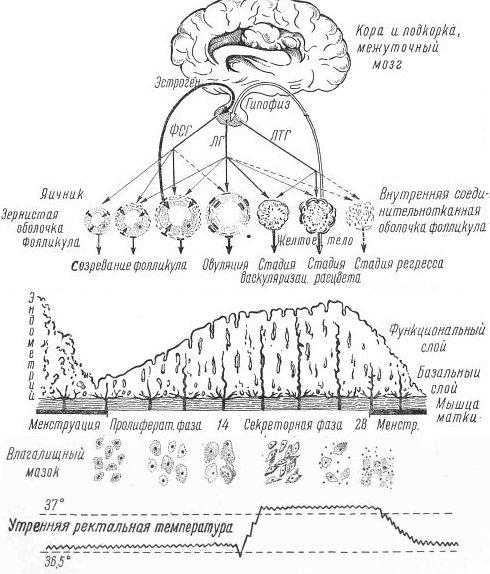 менструального цикла.
